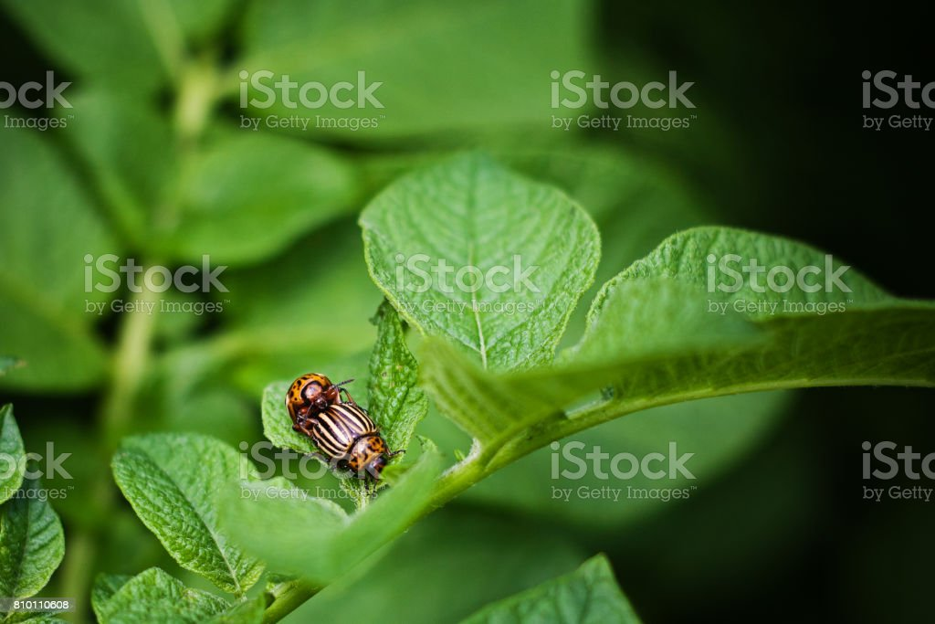 Colorado beetle is mated on the leaves of potatoes, insect pest, young potatoes, flowering ripening potatoes stock photo
