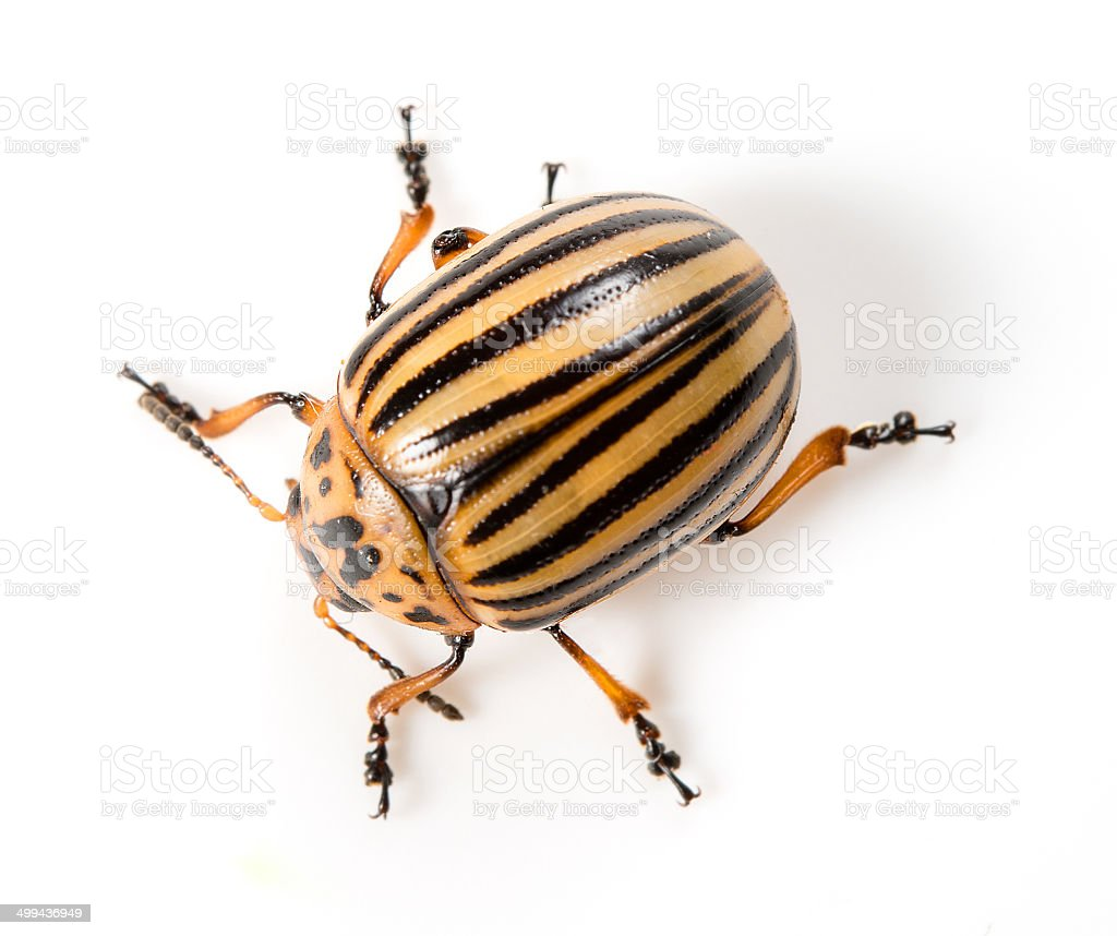 Colorado beetle isolated on a white background stock photo