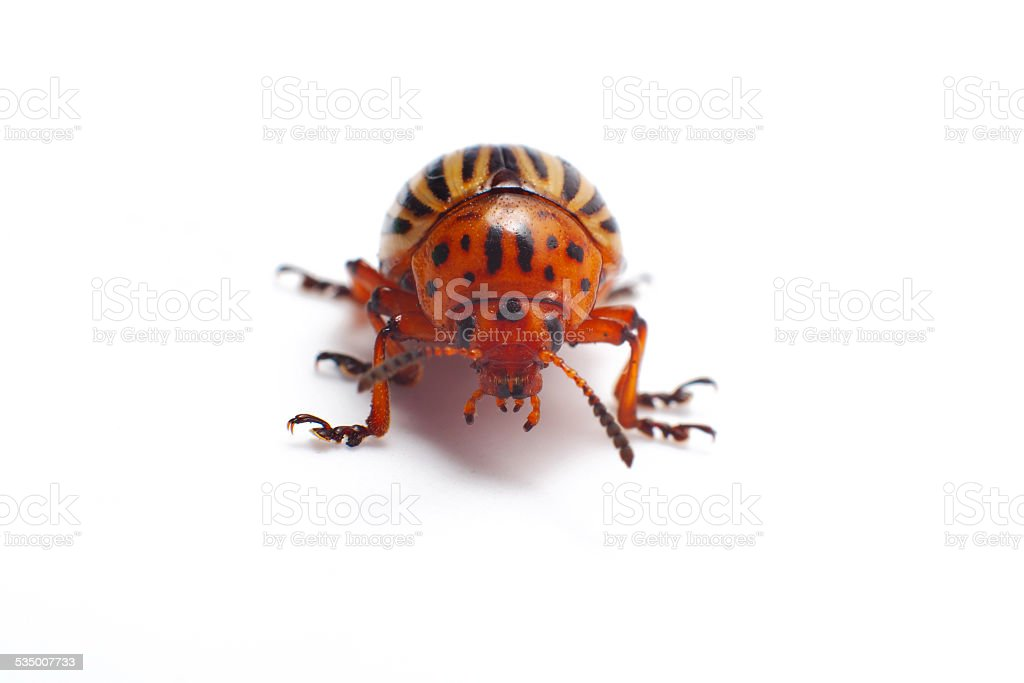 Colorado beetle isolated stock photo