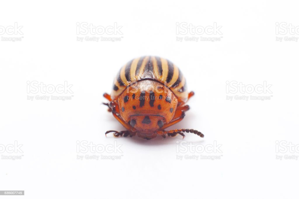 Colorado beetle isolated. stock photo