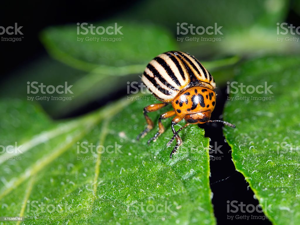 Colorado beetle, Leptinotarsa decemlineata, on potato leaf, feeding. stock photo