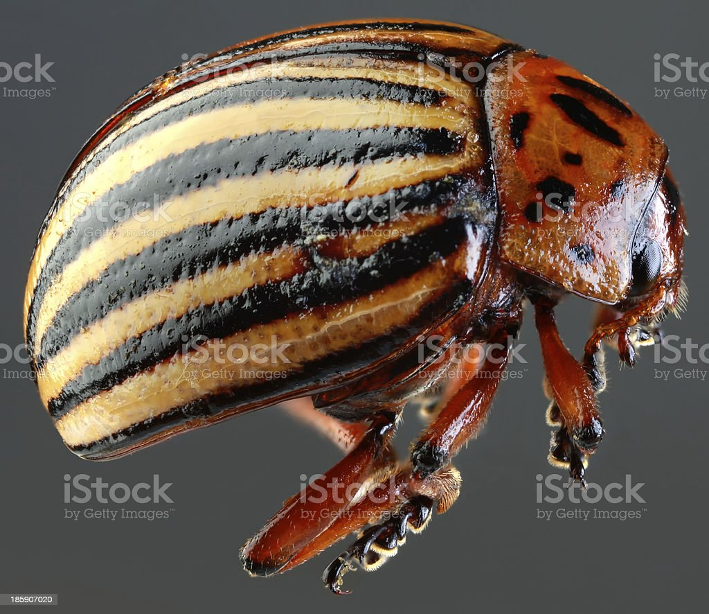 Colorado Beetle Macro Cutout royalty-free stock photo