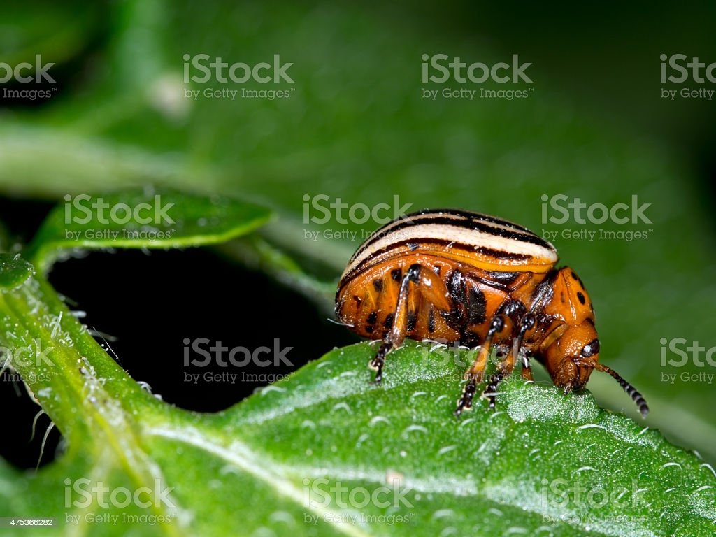 Colorado beetle macro, eating potato leaf. Leptinotarsa decemlineata. stock photo