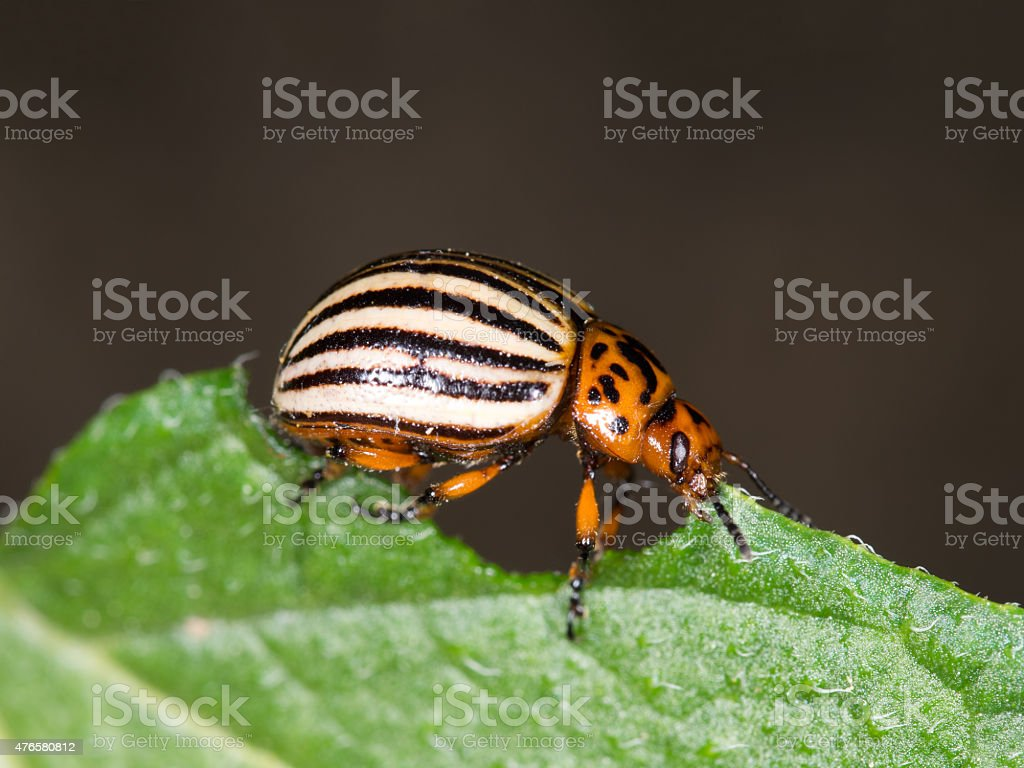 Colorado beetle macro, eating potato leaf. Profile. stock photo