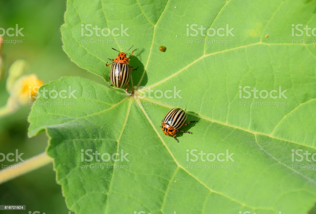 Colorado beetle on a leaf of a plant. Adult striped Colorado bee stock photo