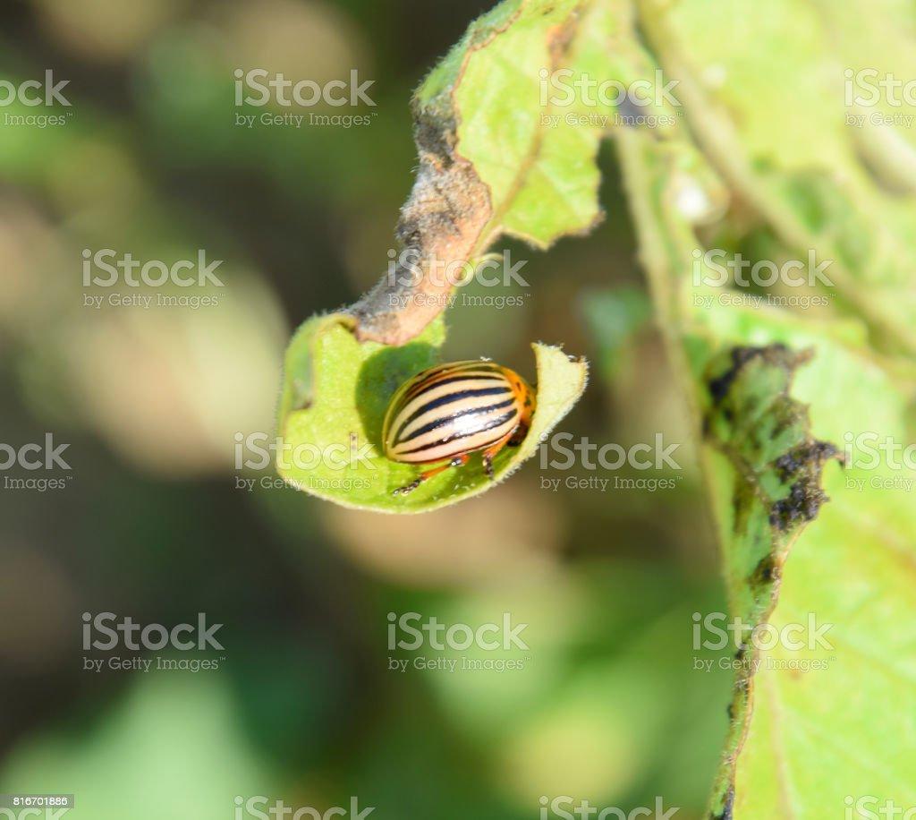 Colorado beetle on a piece of potato stock photo