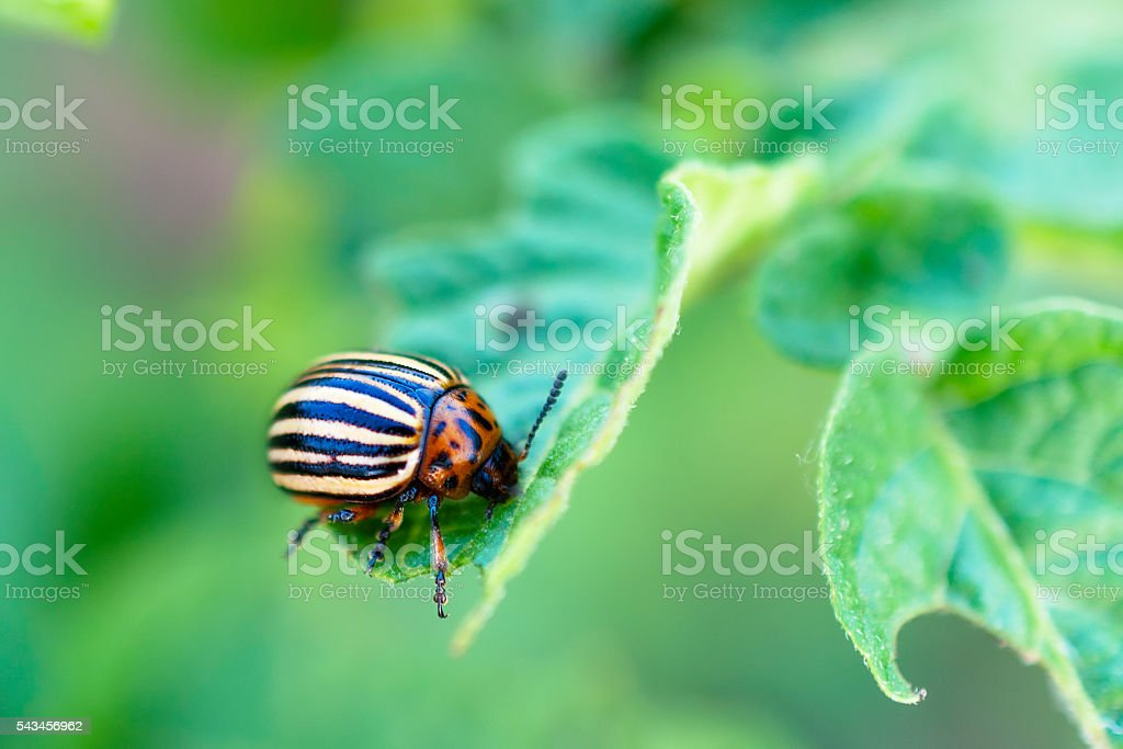 Colorado beetle on a potato leaf. stock photo