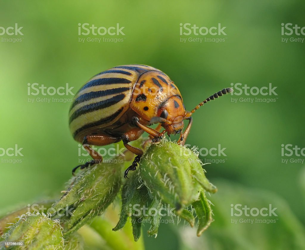 colorado beetle royalty-free stock photo