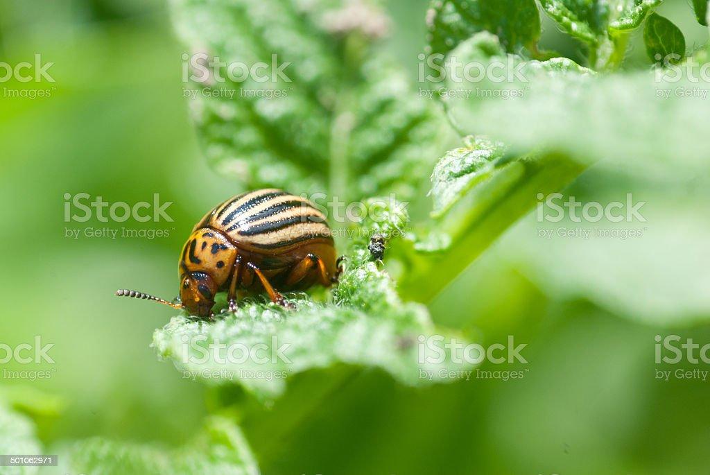 Escarabajo de Colorado foto de stock libre de derechos