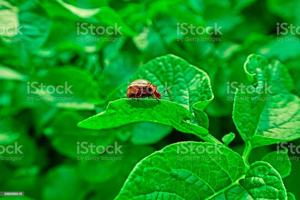 Colorado beetle royalty-free stock photo