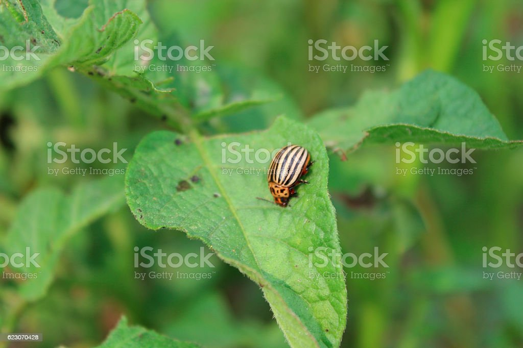 colorado beetle sits on the leaf of potato stock photo