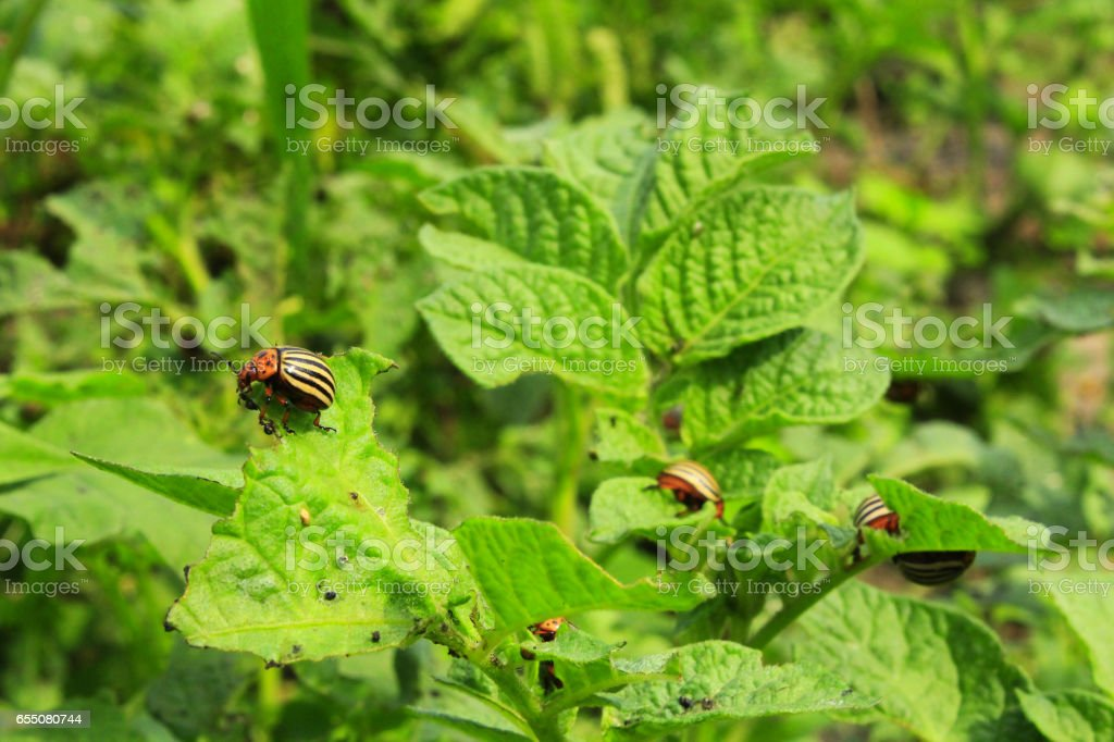colorado beetles gobble up the leaves of potatoes stock photo