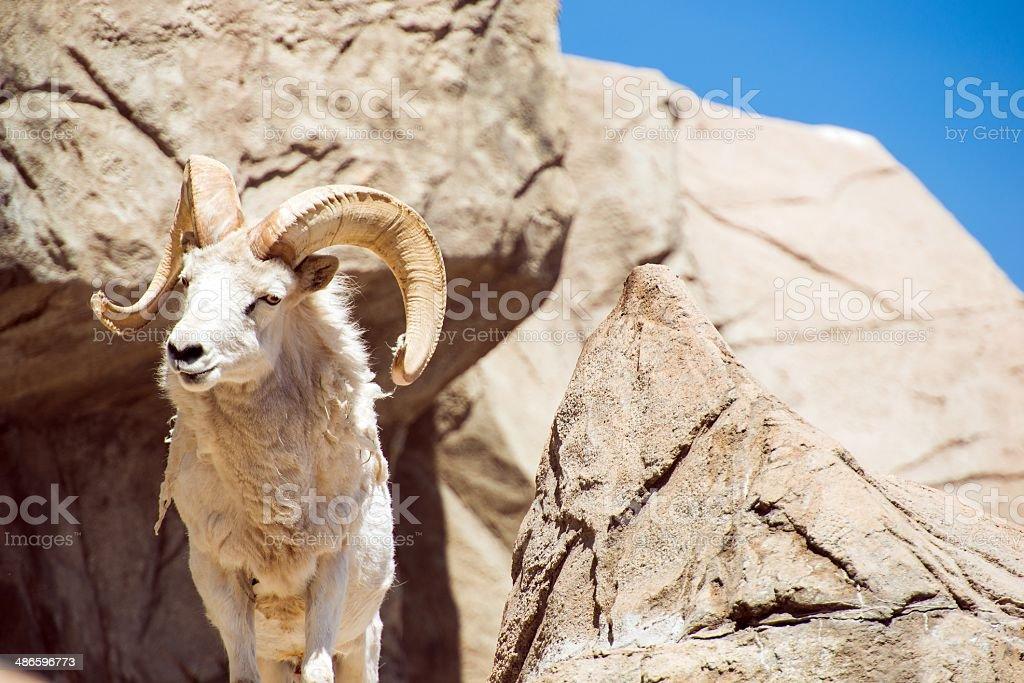 Colorado Bighorn Sheep stock photo