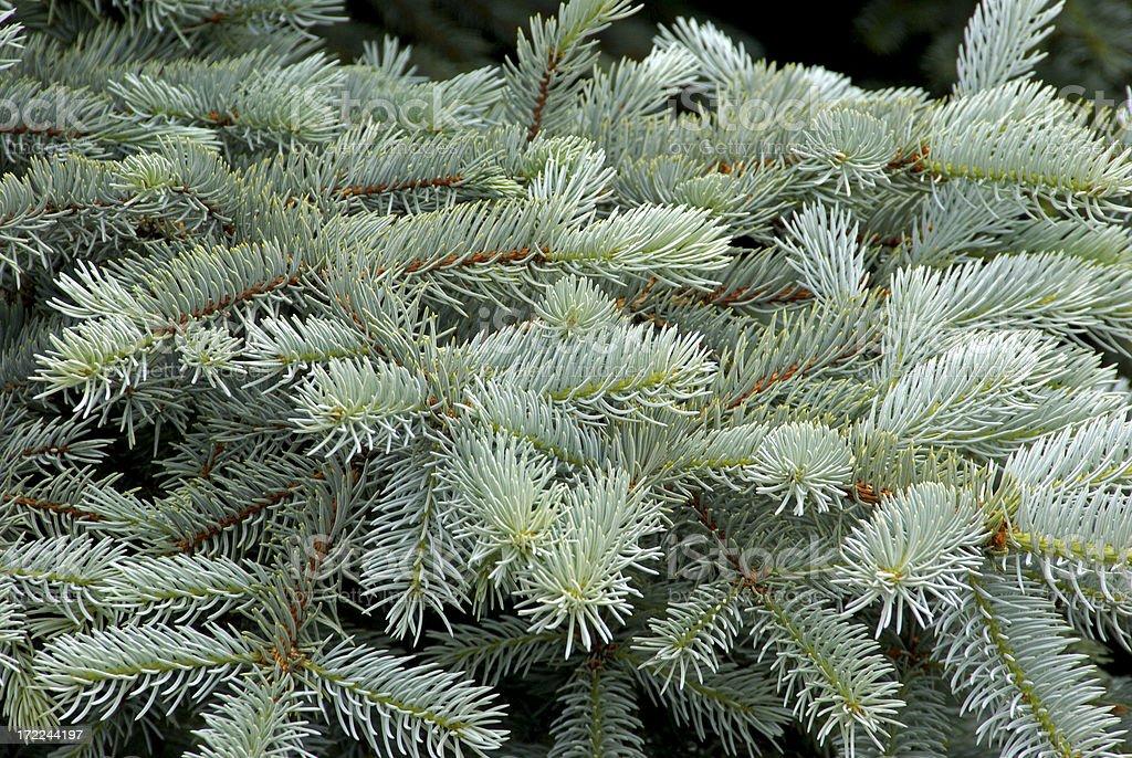 Colorado Blue Spruce royalty-free stock photo