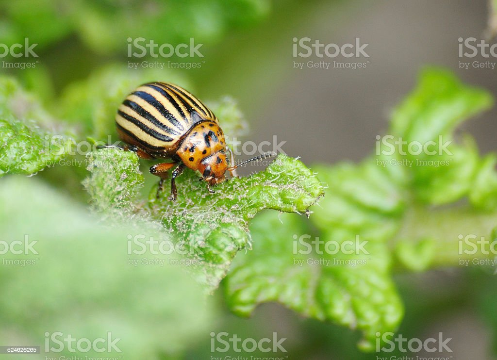 colorado bug on the potato leaf stock photo