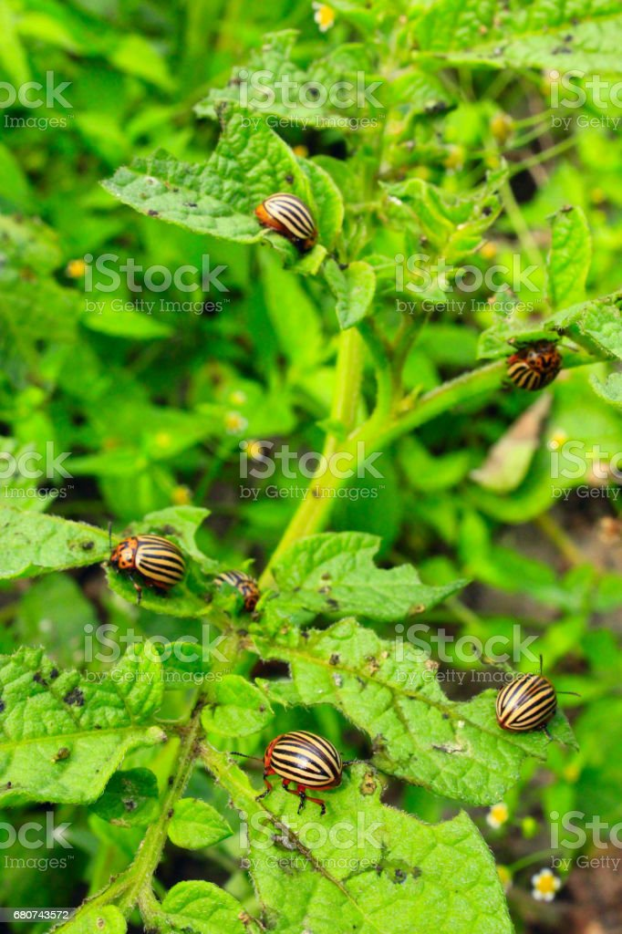 colorado bugs gobble up the leaves of potatoes stock photo