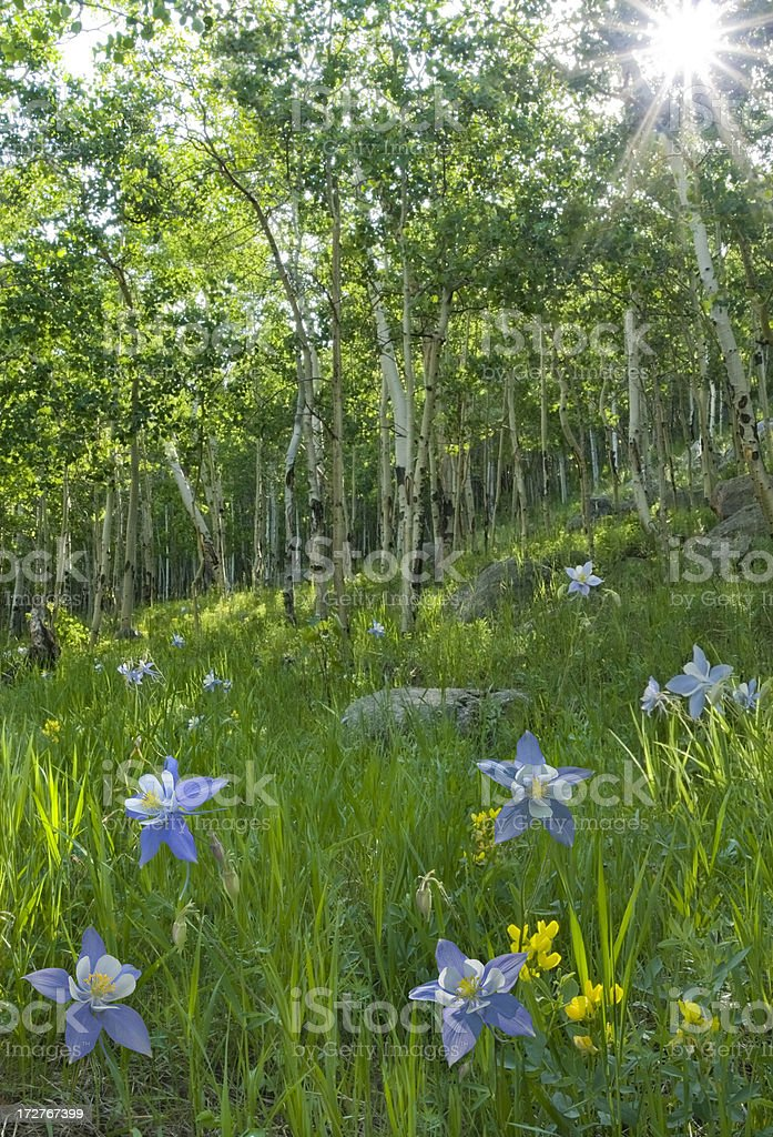 Colorado Forest in Summer stock photo