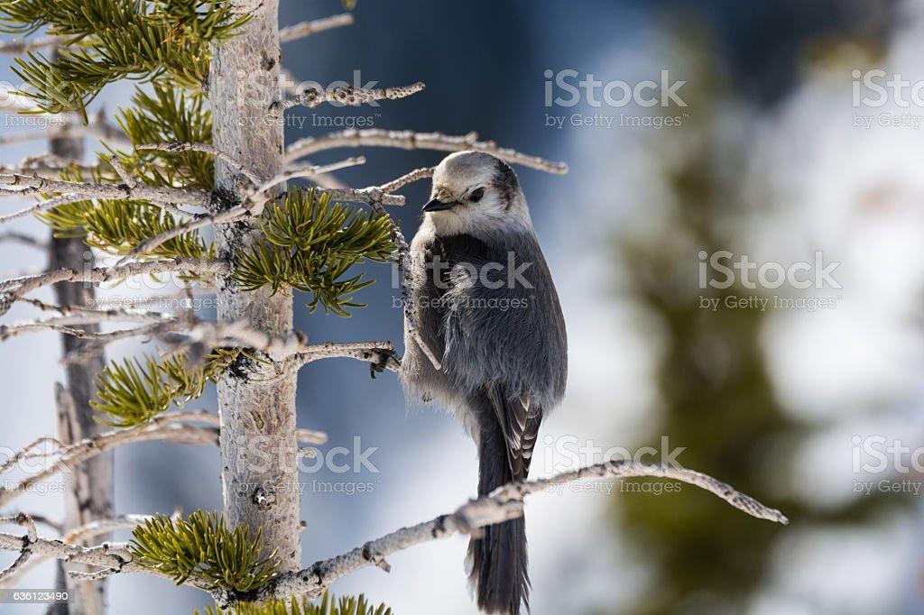 Colorado Gray Jay stock photo