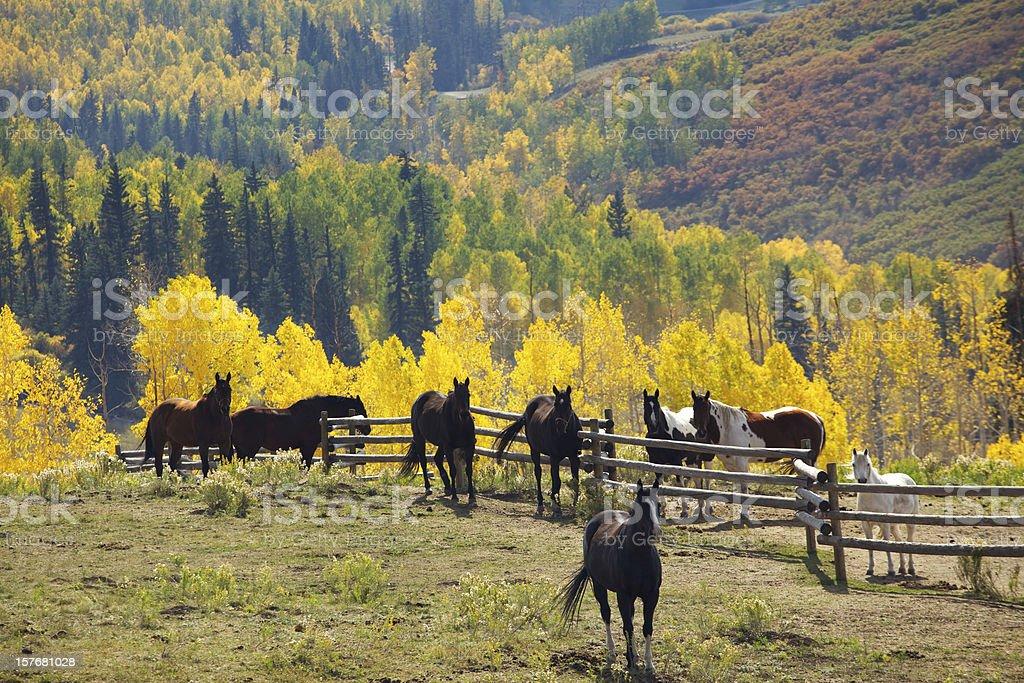 Colorado Herd of Horses royalty-free stock photo