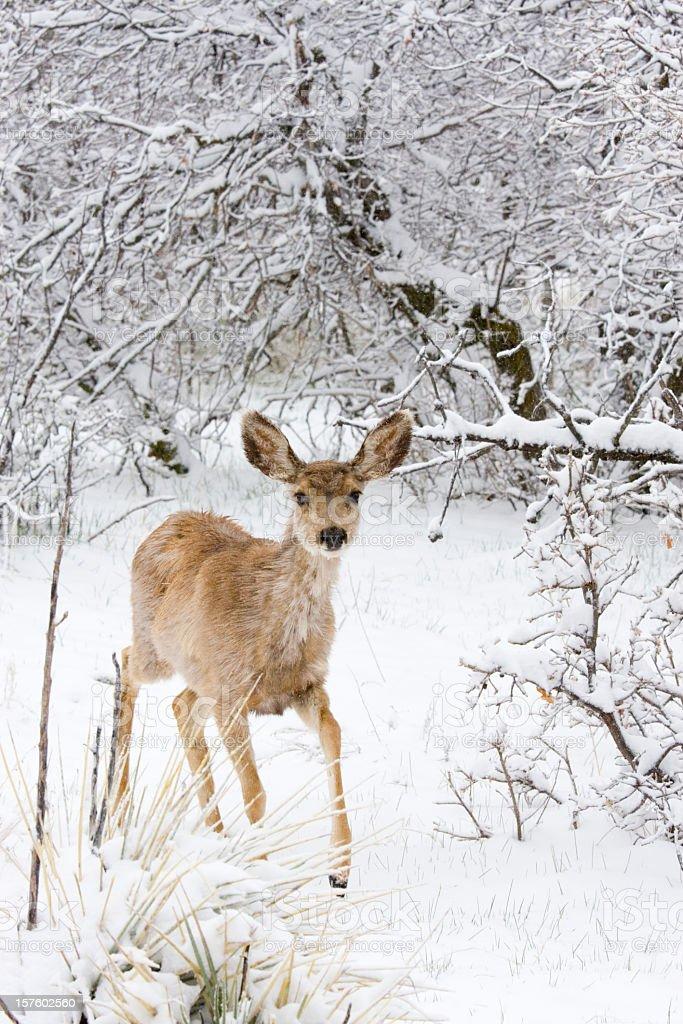 Colorado Mule Deer in Rocky Mountain Wintertime Snow stock photo
