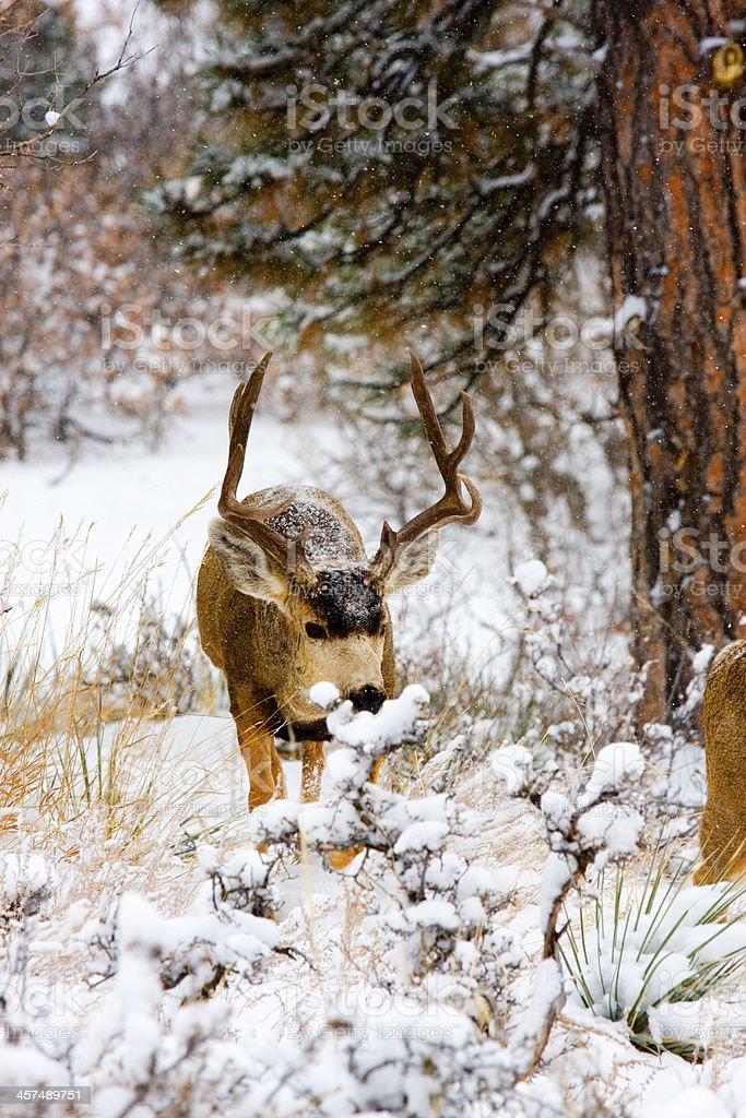 Colorado Mule Deer in the Wintertime Snow stock photo
