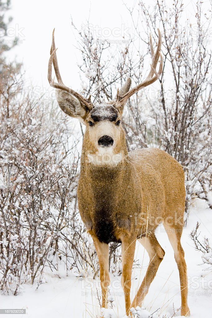 Colorado Mule Deer in Wintertime Snow stock photo