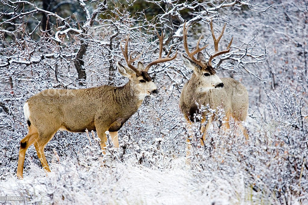 Colorado Mule Deer in Wintertime Snow royalty-free stock photo