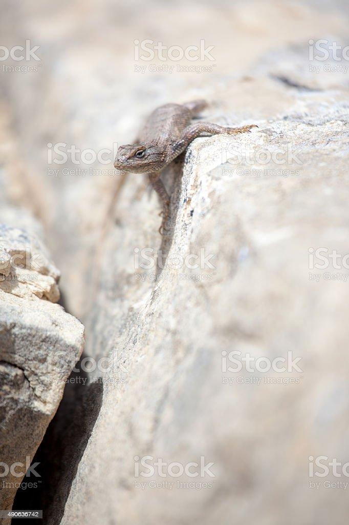 colorado national monument sandstone western fence lizard stock photo