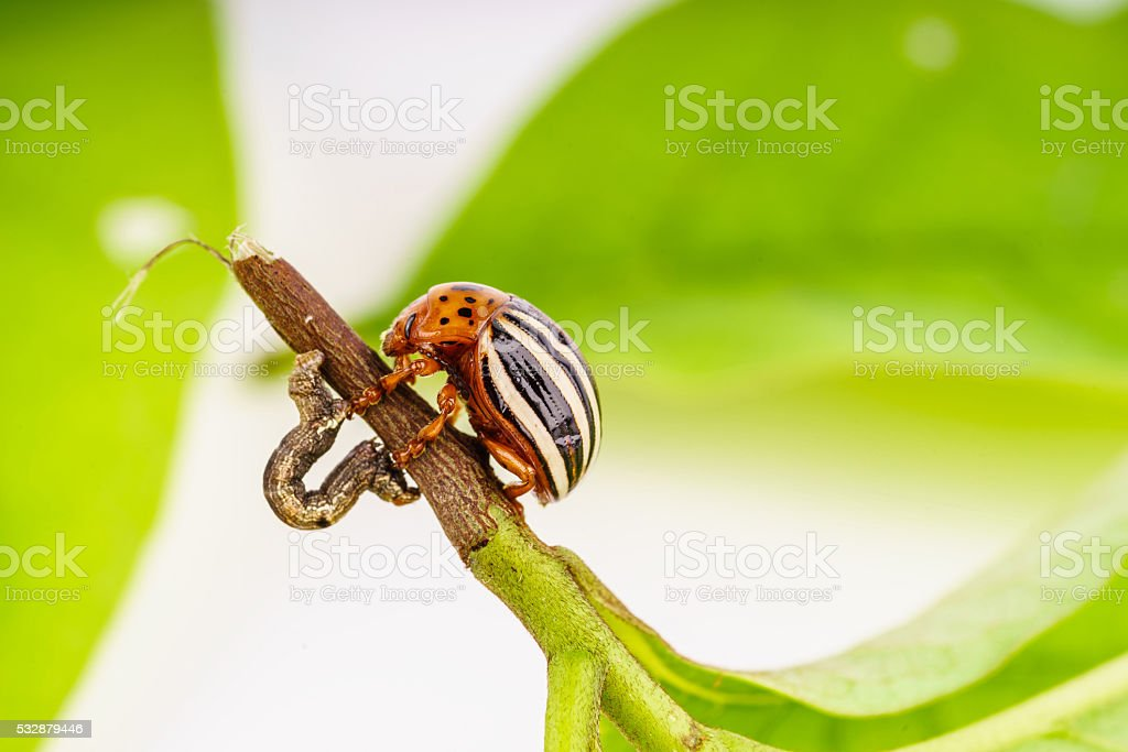 Colorado potato beetle and inch worm - best buddies concept stock photo