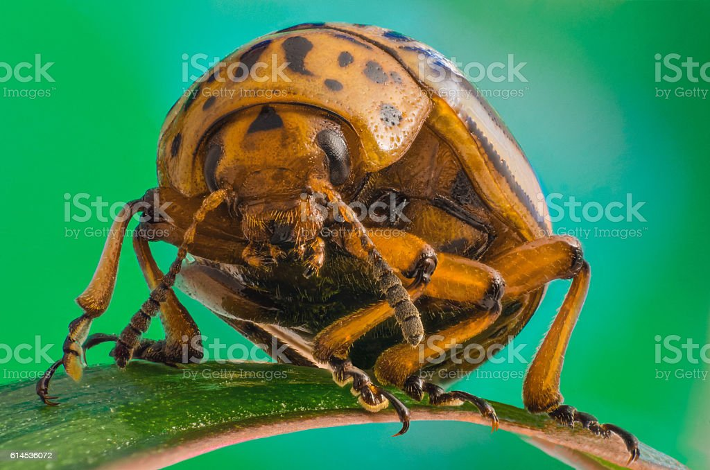 Colorado potato beetle close-up stock photo