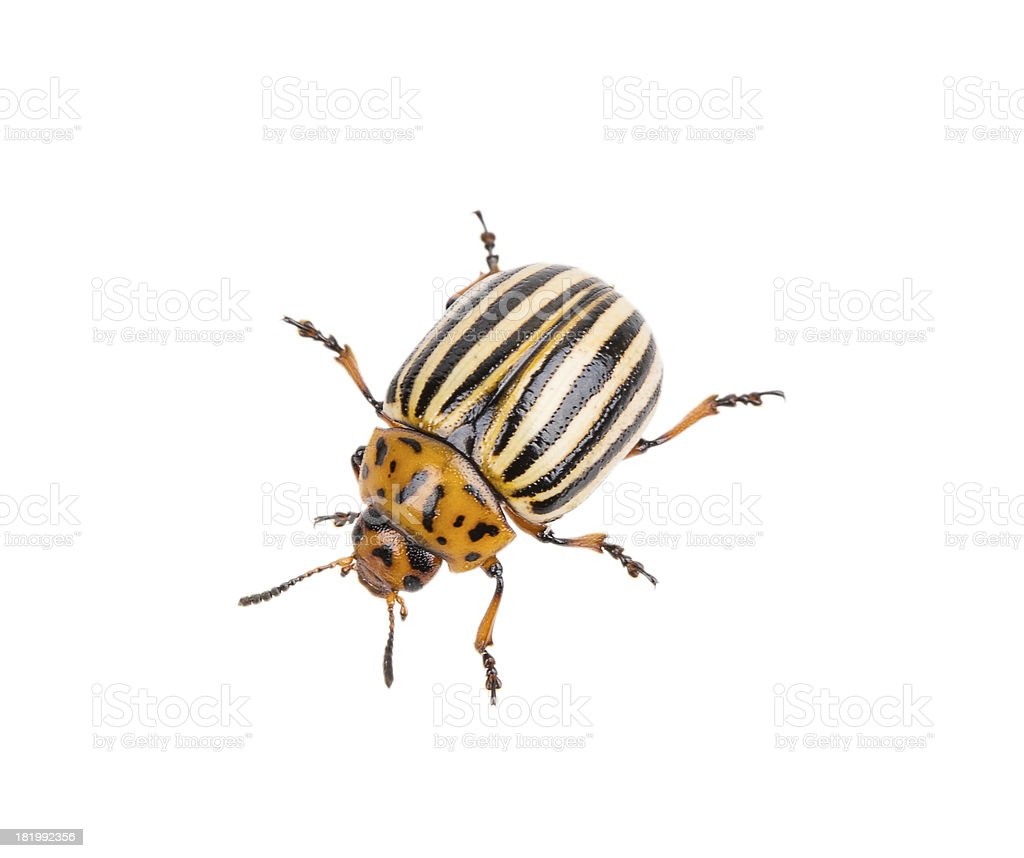 Colorado potato beetle crawling on a white background stock photo