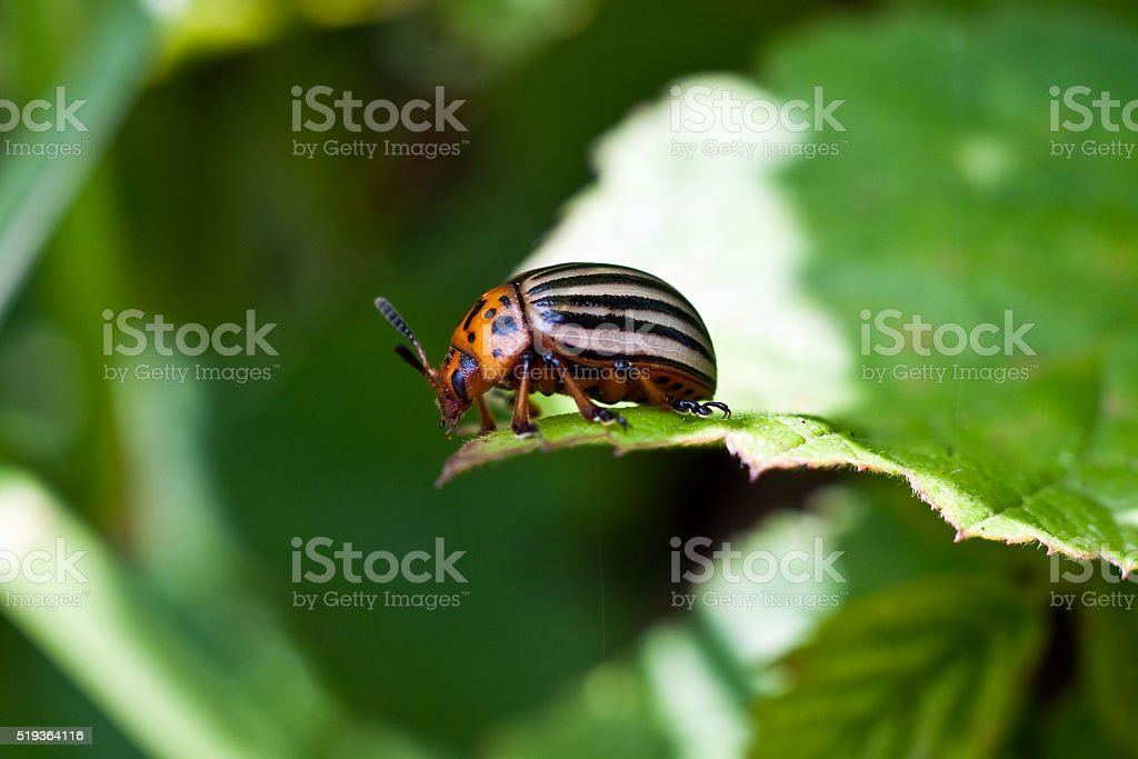 Colorado potato beetle eats leaves stock photo