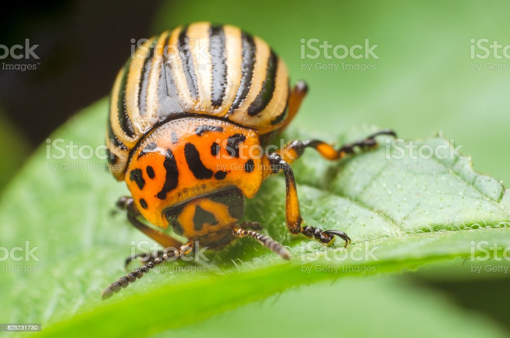 Colorado potato beetle eats potato leaves, close-up stock photo