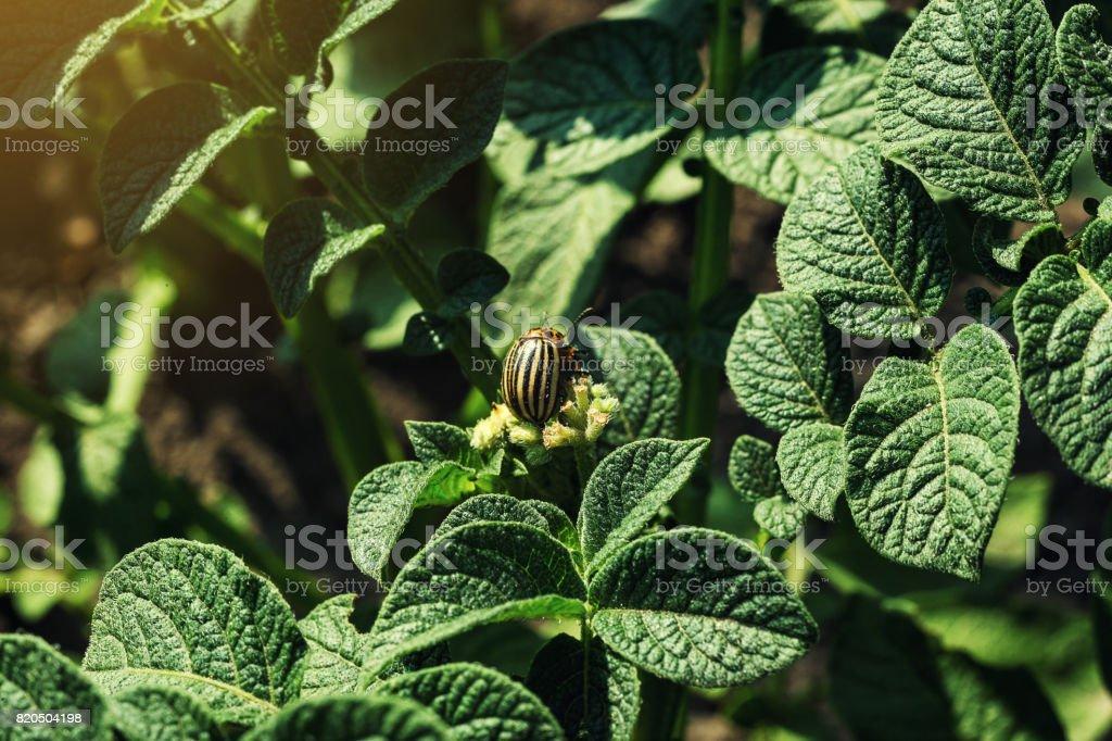 Colorado potato beetle eats potato leaves,close-up.Colorado Potato Striped Beetle-Leptinotarsa Decemlineata,Serious Pest Of Potatoes plants.Potato bug on green sheet,damage agricultural crops stock photo