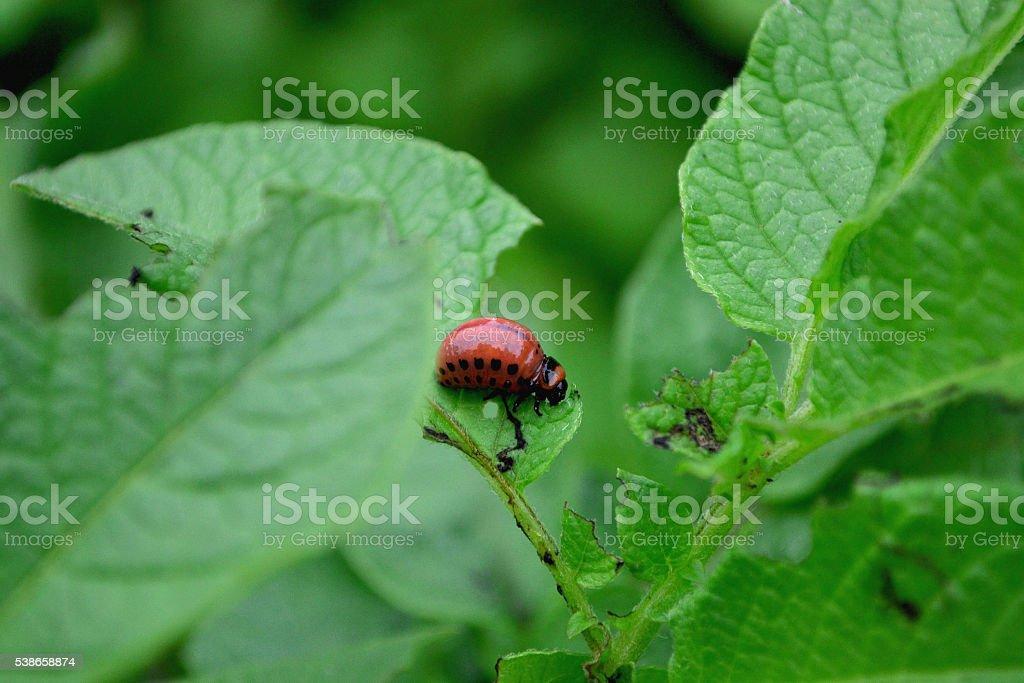 Colorado potato beetle eats sitting creeps stock photo