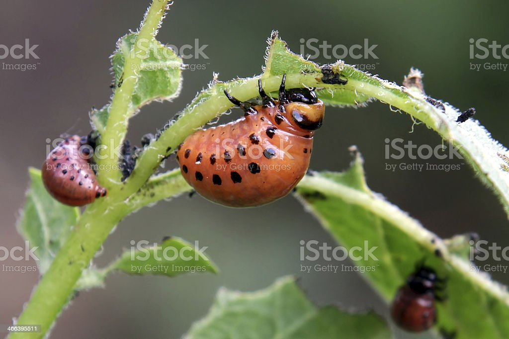 Colorado potato beetle larvae stock photo