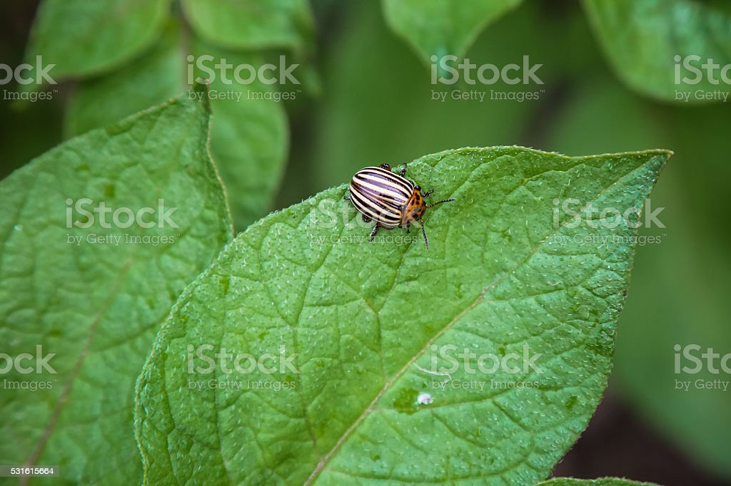 Colorado potato beetle pest insect eating potatoes plant leaf stock photo