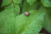 Colorado potato beetle pest insect eating potatoes plant leaf