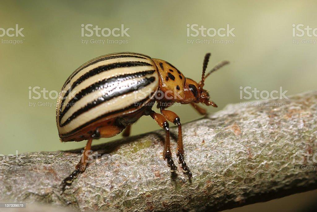 Colorado potato beetle royalty-free stock photo
