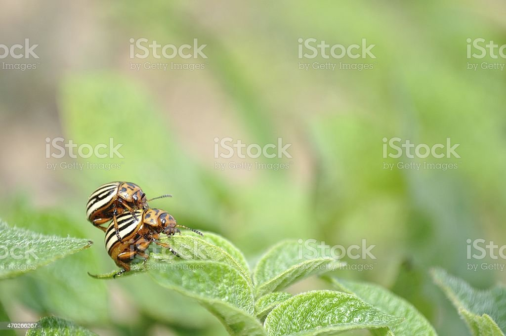 Colorado potato beetle (Leptinotarsa decemlineata) stock photo
