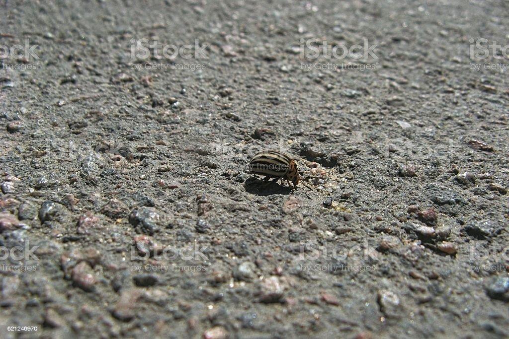 Colorado Potato Beetle. stock photo