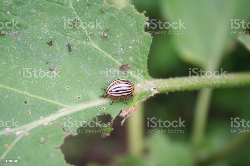 Colorado potato beetle stock photo