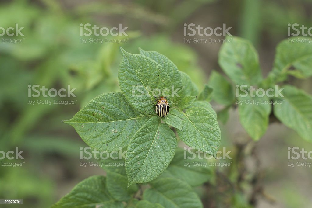 Colorado potato beetle (Leptinotarsa decemlineata). stock photo