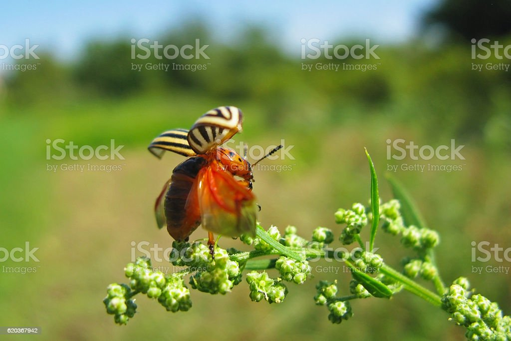 Colorado potato beetle starts to fly stock photo