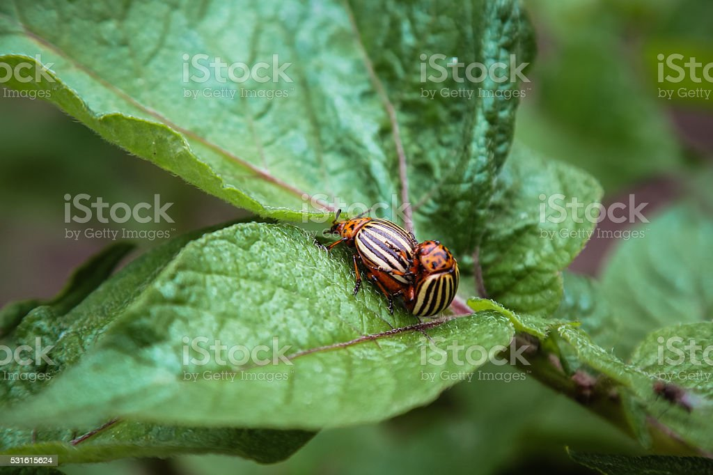 Colorado potato beetles, pest insect mating on potatoes plant leaf stock photo
