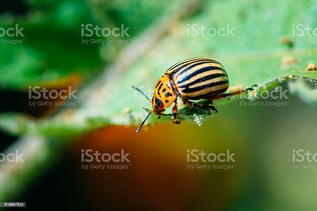 Colorado Potato Striped Beetle - Leptinotarsa Decemlineata stock photo