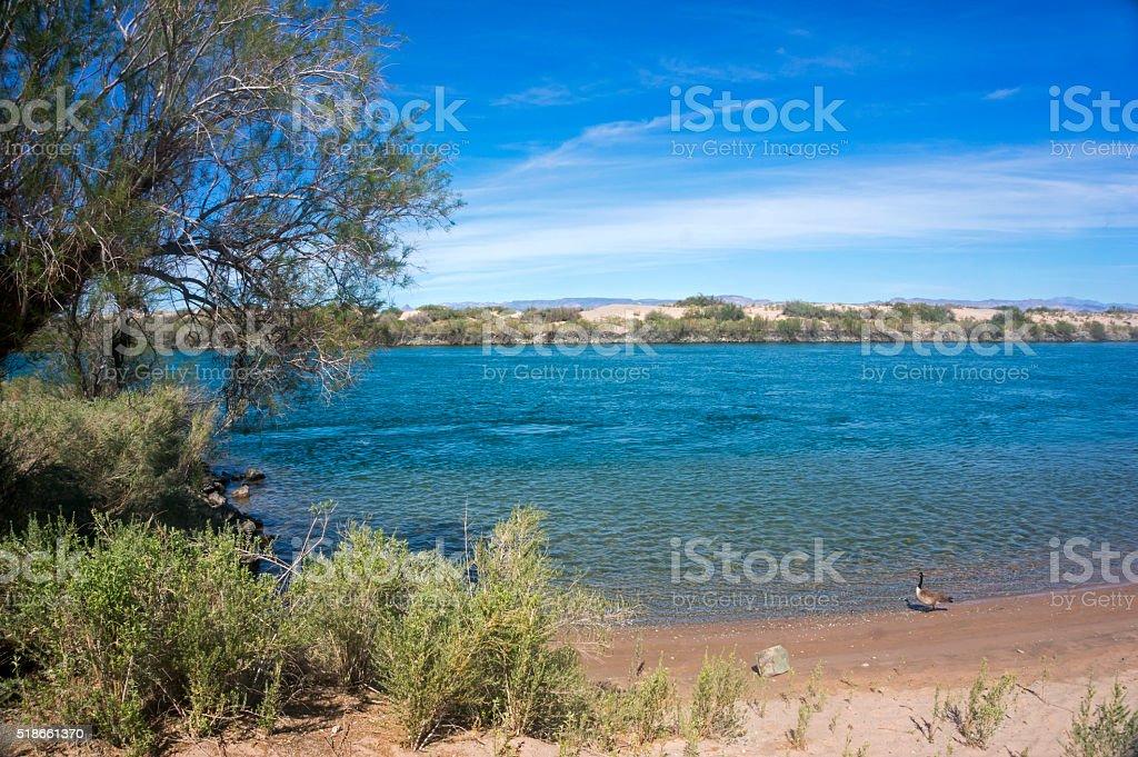Colorado River Beach with a goose stock photo
