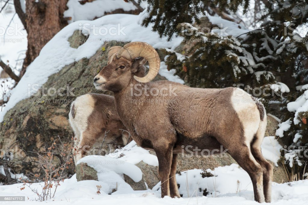 Colorado Rocky Mountain Bighorn Sheep stock photo 683747712 | iStock