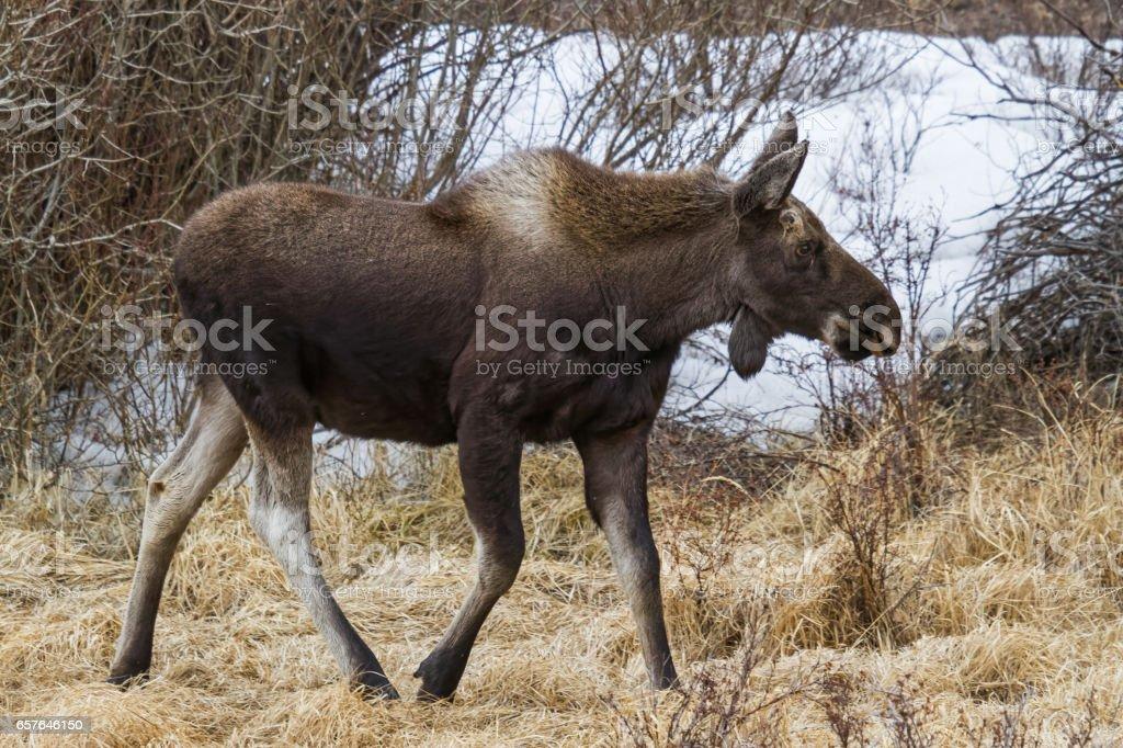 Colorado Shiras Moose stock photo