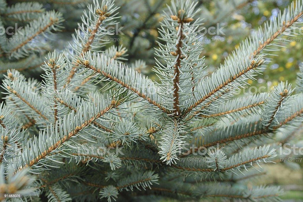 Colorado spruce stock photo